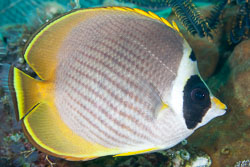 BD-130330-Tulamben-8157-Chaetodon-adiergastos.-Seale.-1910-[Philippine-butterflyfish].jpg